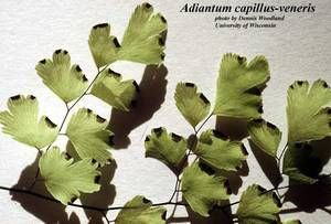 Adiantum capillus-veneris