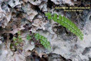 Adiantum melanoleucum