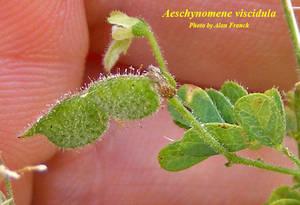 Aeschynomene viscidula