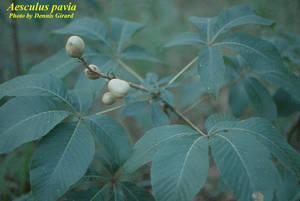Aesculus pavia