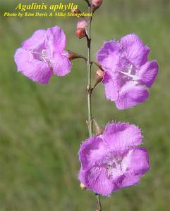 Agalinis aphylla