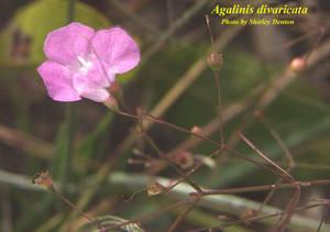 Agalinis divaricata