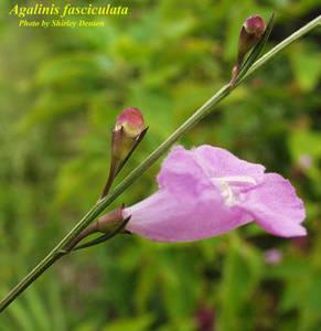 Agalinis fasciculata