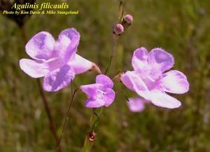 Agalinis filicaulis