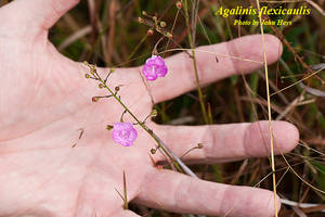Agalinis flexicaulis