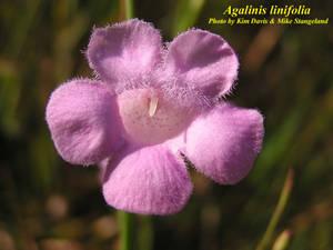 Agalinis linifolia