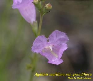 Agalinis maritima var. grandiflora