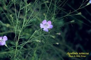 Agalinis setacea