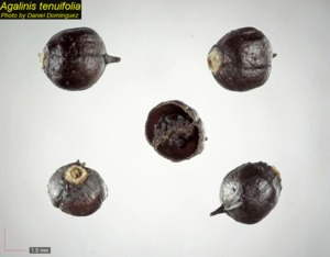 Agalinis tenuifolia