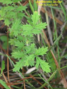 Agrimonia incisa