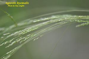 Agrostis hyemalis