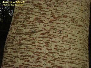 Albizia lebbeck