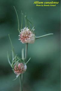 Allium canadense