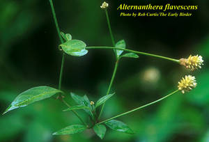Alternanthera flavescens