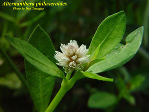 Alternanthera philoxeroides