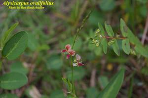 Alysicarpus ovalifolius