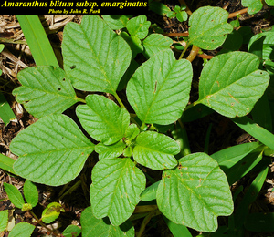 Amaranthus blitum subsp. emarginatus