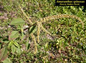Amaranthus spinosus