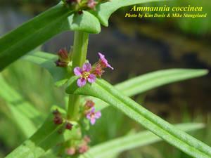 Ammannia coccinea
