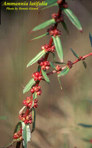 Ammannia latifolia