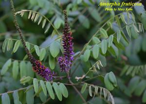 Amorpha fruticosa