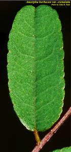 Amorpha herbacea var. crenulata