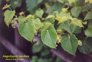 Ampelopsis cordata