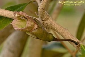 Amphitecna latifolia