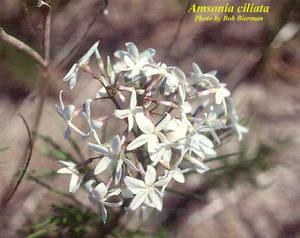 Amsonia ciliata