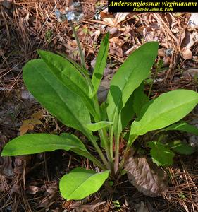 Andersonglossum virginianum