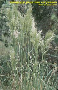 Andropogon glomeratus var. pumilus