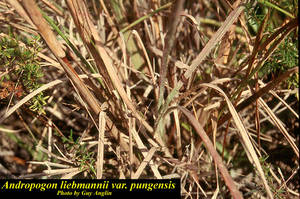 Andropogon liebmannii var. pungensis