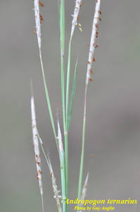 Andropogon ternarius