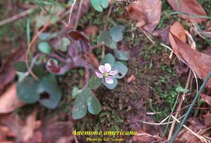 Anemone americana