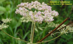 Angelica venenosa