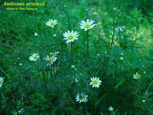 Anthemis arvensis
