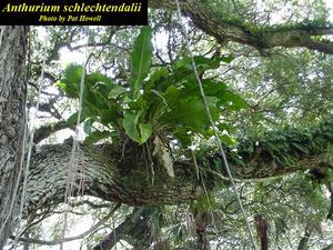 Anthurium schlechtendalii