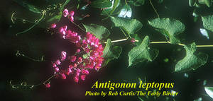 Antigonon leptopus