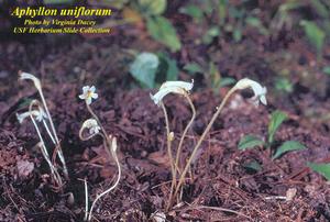Aphyllon uniflorum