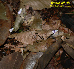 Apteria aphylla