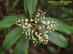 Ardisia escallonioides