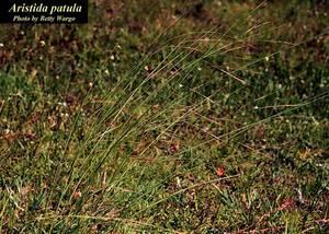 Aristida patula