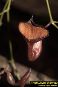 Aristolochia maxima