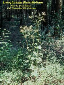 Arnoglossum diversifolium