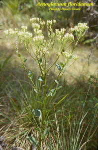 Arnoglossum floridanum