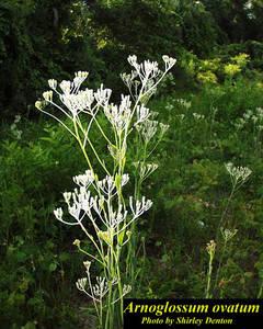 Arnoglossum ovatum