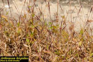 Arthraxon hispidus