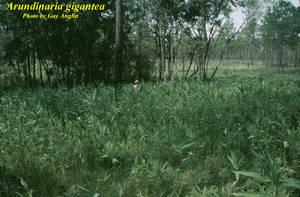 Arundinaria gigantea