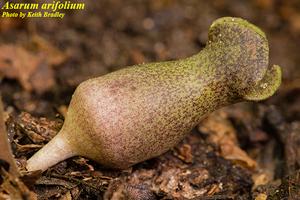 Asarum arifolium
