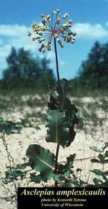 Asclepias amplexicaulis